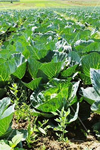 A field of white cabbages