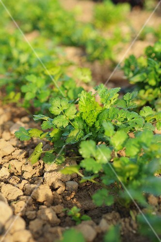 Coriander plants growing in the field