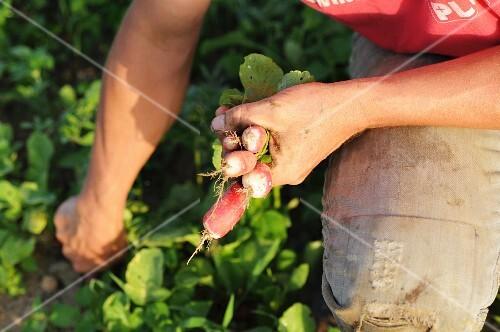 A man harvesting radishes
