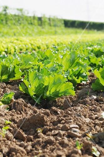 Batavia lettuce growing in the field