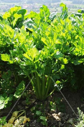 Celery growing in the field