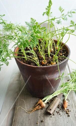 Baby carrots in a flowerpot