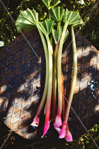 Stalks of rhubarb on an old iron table