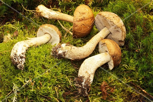 A birch bolete mushroom