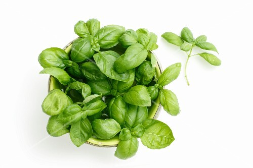 Fresh basil in a flowerpot