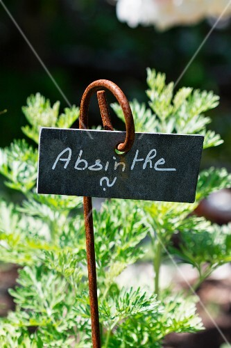 Fresh absinthe in the garden with sign