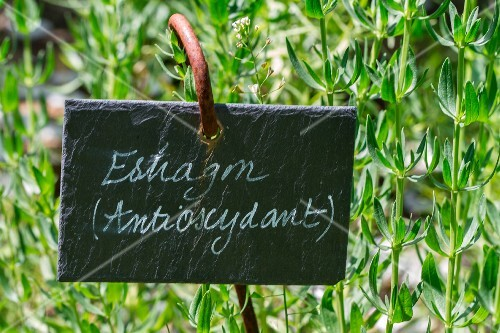 Fresh tarragon in the garden with sign (antioxidant)