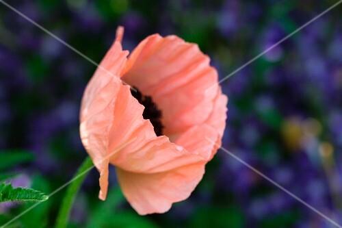 A poppy flower in the garden