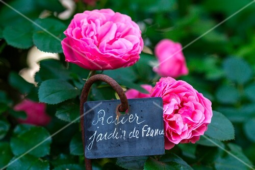 Roses in the garden with sign 'Jardin de France'
