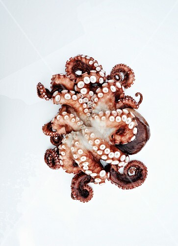 Fresh Pacific Octopus on White