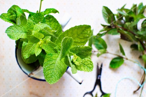 Two different varieties of mint