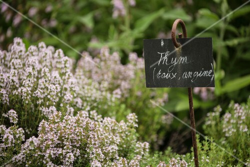 Flowering thyme in a garden, with label