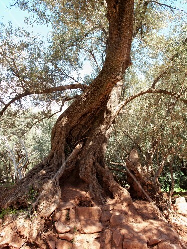 An old olive tree in North Africa