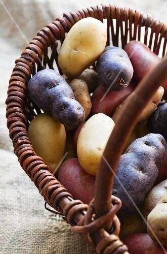Assorted varieties of potato in a wicker basket (Franceline, Vitelotte, Charlotte, Bamberger Hörnchen)
