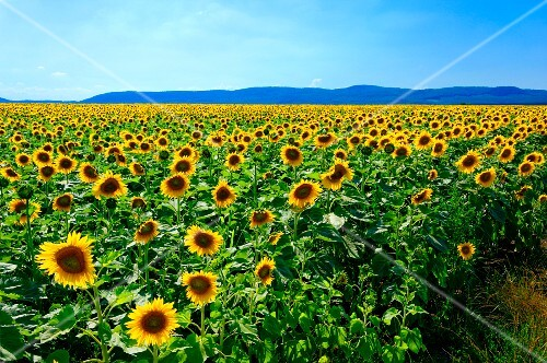 A field of sunflowers in Hungary