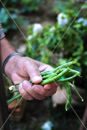 A hand holding fresh green beans