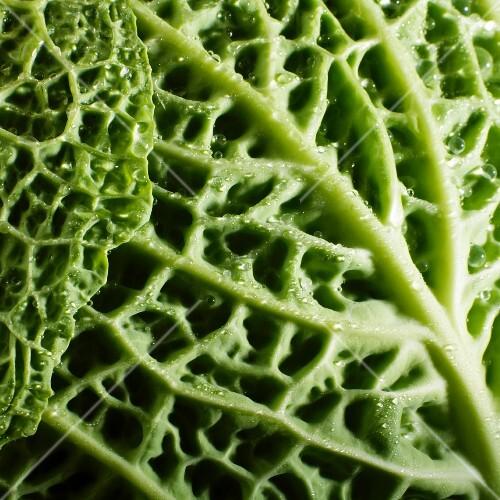 Savoy cabbage leaf (close-up)