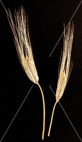 Two Wheat Stalks on White Background