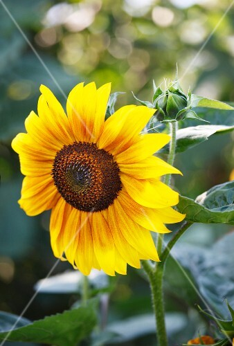 A sunflower in the garden