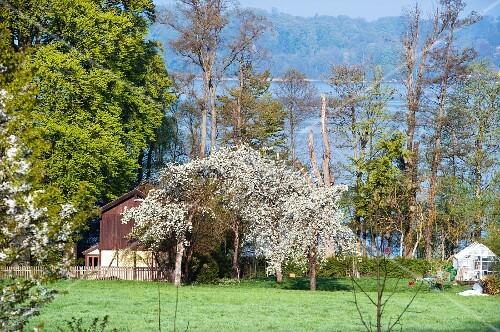 Flowering cherry trees in the garden