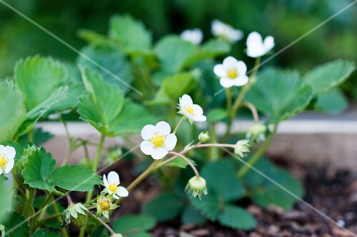 Strawberry plants with flowers in a wooden crate