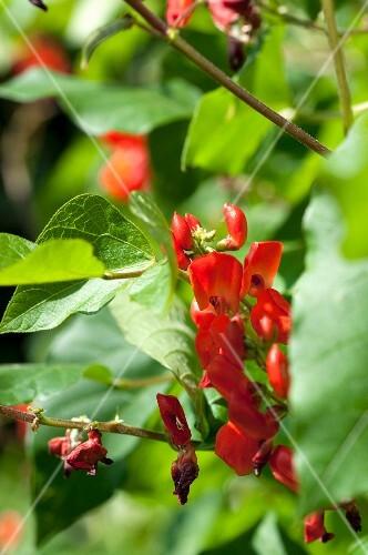 Runner bean flowers on the plant