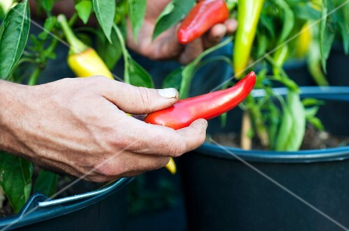 A hand harvesting pointed peppers