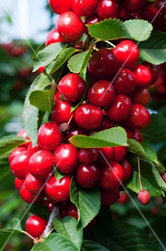 Cherries on the tree (close-up)