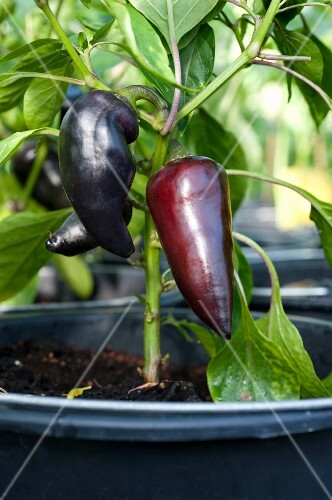 Pointed purple peppers on the plant