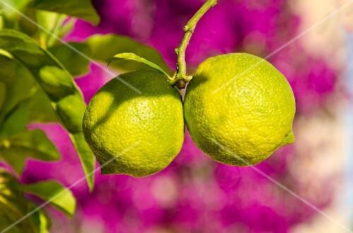 Lemons on the tree in front of purple flowers