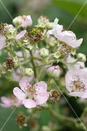 Blackberry blossom on the bush (close-up)