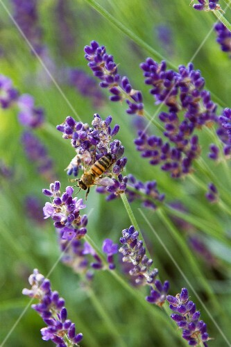 Lavender flowers and a bee