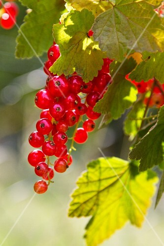 Redcurrants on a bush