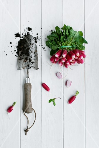 Bunch of radish with a garden trowl