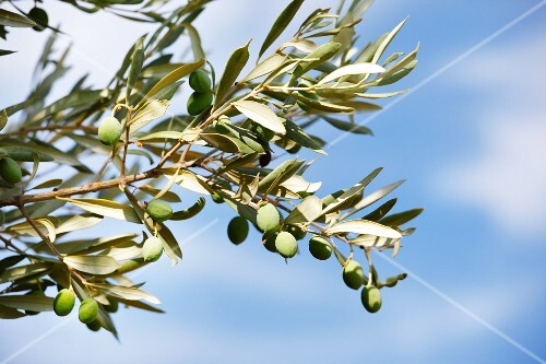 Olives on the branch