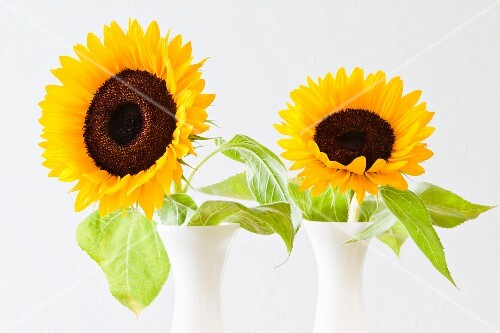 Two sunflowers in vases