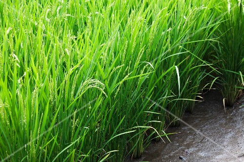 A field of rice (section)