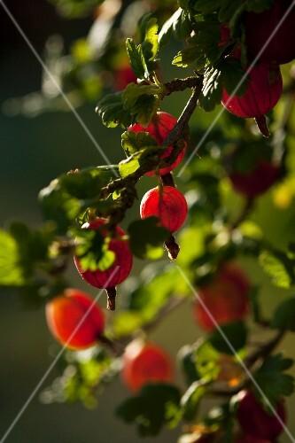 Red gooseberries on the bush