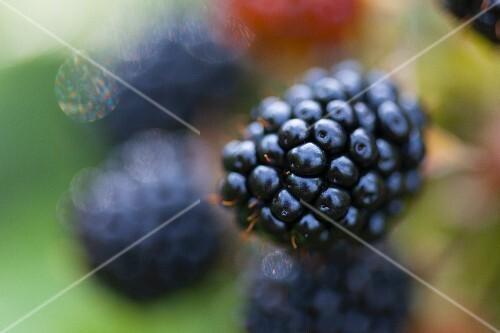 A blackberry on the bush (close-up)