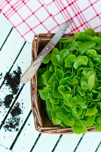 A basket of freshly harvested salad leaves of the variety Salanova (view from above)