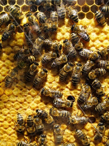 Bees on honeycomb (view from above)