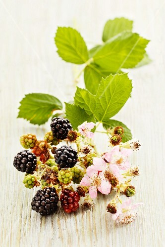 A bunch of blackberries with twig, leaves and flowers