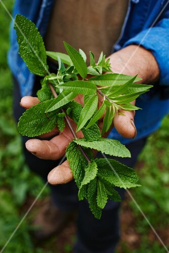 A man holding lemon verbena and mint in the garden