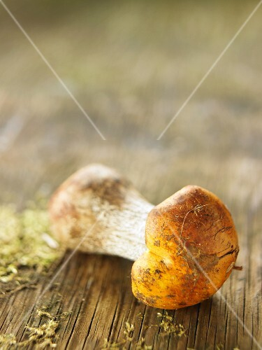A birch bolete on a wooden surface