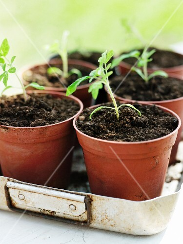 Potted tomato seedlings in old metal baking tray