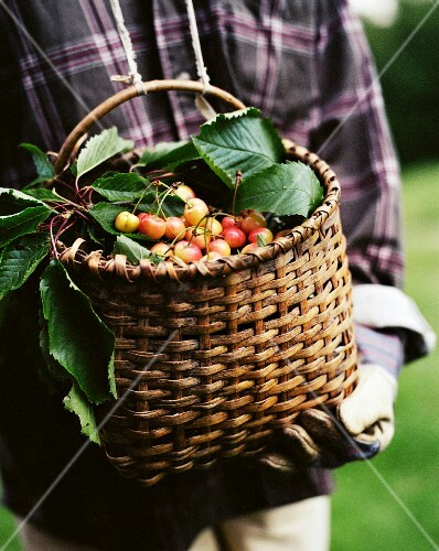 White Cherries in a Basket.