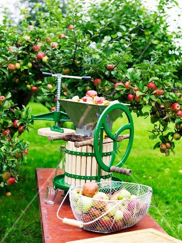 Production of apple cider.