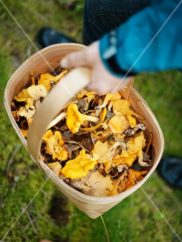 A basket full of mushrooms, Sweden.