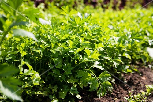 Flat-leaf parsley growing in a bed