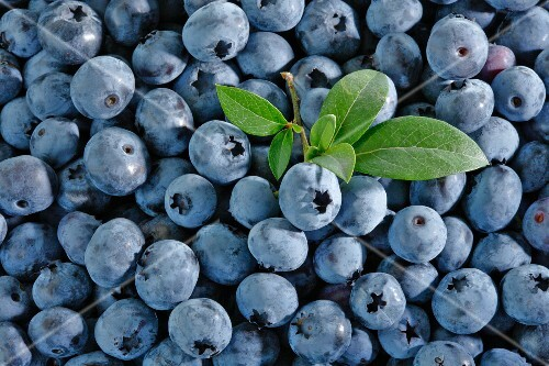 Lots of blueberries with a bunch of leaves